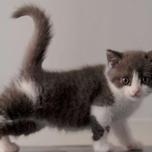 Conoce a Ajo, el primer gatito clonado en China