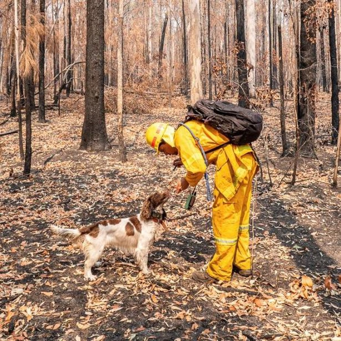 Taylor ha ayudado a rescatar al menos a 15 koalas en el estado oriental de Nueva Gales del Sur desde que en septiembre comenzaran los incendios. (EFE)